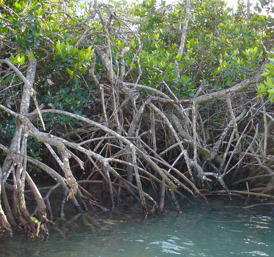 Picture of mangrove forest showing that they have multiple, closely intertwined trunks that are too dense to talk through.
